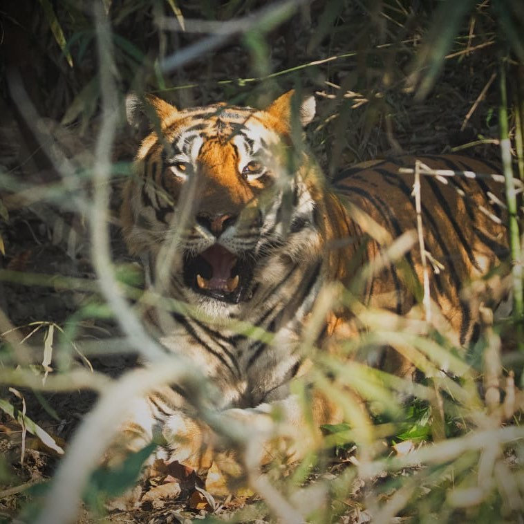 When u spot the tiger on ur own and he obliges u with just enough time to click a few pics.Visit to kanha was outstanding